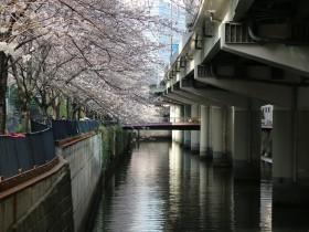 南堀留橋の桜