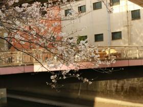 あいあい橋の桜