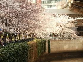 三崎町の桜