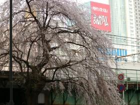 三崎町のしだれ桜