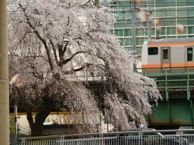 中央線と三崎町のしだれ桜