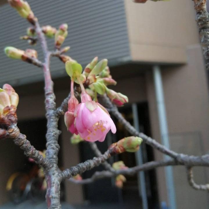 2020.02.04-Cherry-blossom-at-Futaba-1