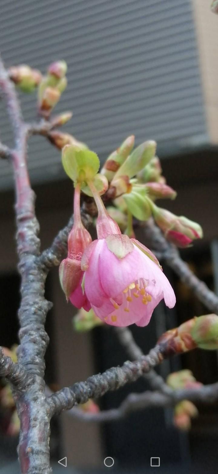 2020.02.04-Cherry-blossom-at-Futaba-2