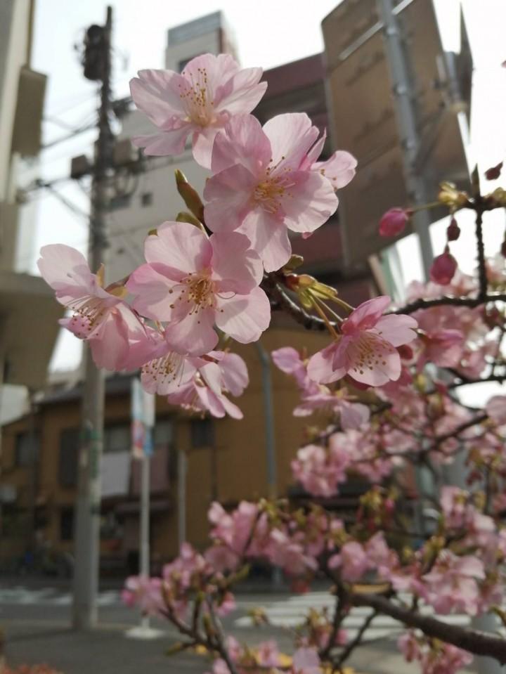 2020.02.14-Futaba_cherry-blossom-1-IMG_4612