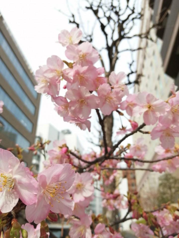 2020.02.14-Futaba_cherry-blossom-2-IMG_4613