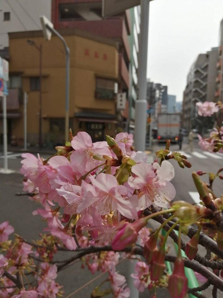 2020.02.14-Futaba_cherry-blossom-3-IMG_4615