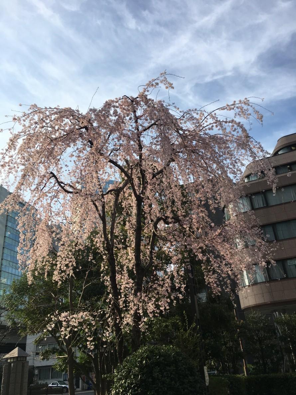 千代田区枝垂れ桜